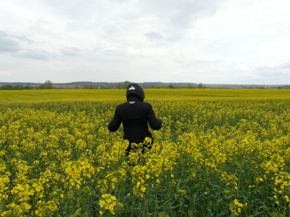 Mustard plant in flower as far as the eye can see