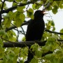 This Budapest Merle blackbird sang us a great goodbye song