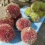 Another close-up look of this wild specie red coloured durian. This encounter itself is worth the ride through here.