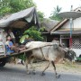 Long time I\'ve not seen a cow-cart. It looks like a house by itself inside